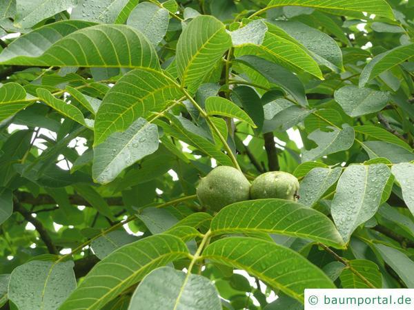 Walnuss (Juglans regia) Blätter mit unreifen Früchten