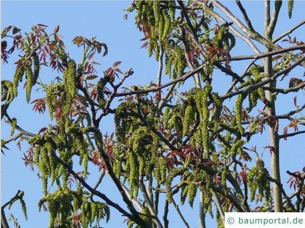Walnuss (Juglans regia) die Blüten kommen mit dem Austrieb der Blätter