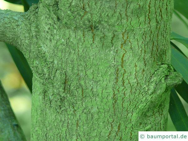 Wasser-Akazie (Acacia retinodes) Stamm / Rinde / Borke stark vergrößert