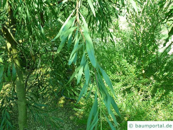Wasser-Akazie (Acacia retinodes) Zweig mit Blättern