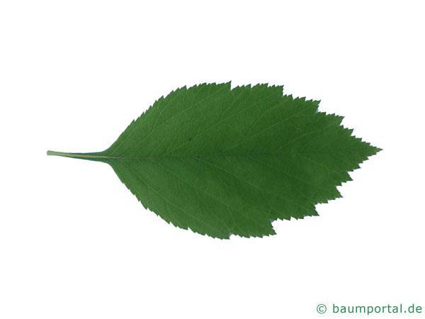 weichhaariger Weißdorn (Crataegus mollis) Blatt