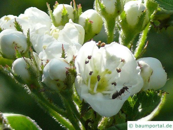 weichhaariger Weißdorn (Crataegus mollis) Blüte
