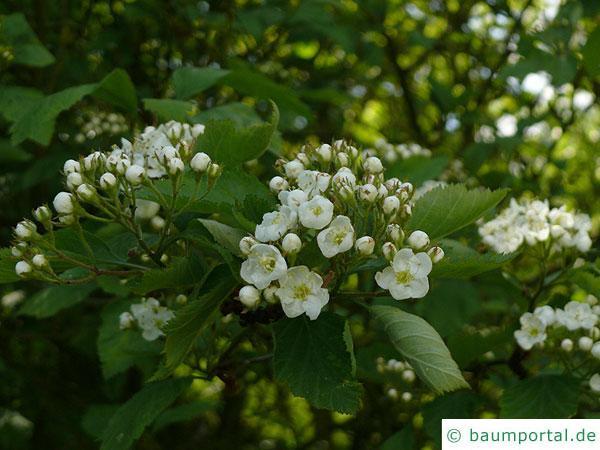 weichhaariger Weißdorn (Crataegus mollis) Blüten