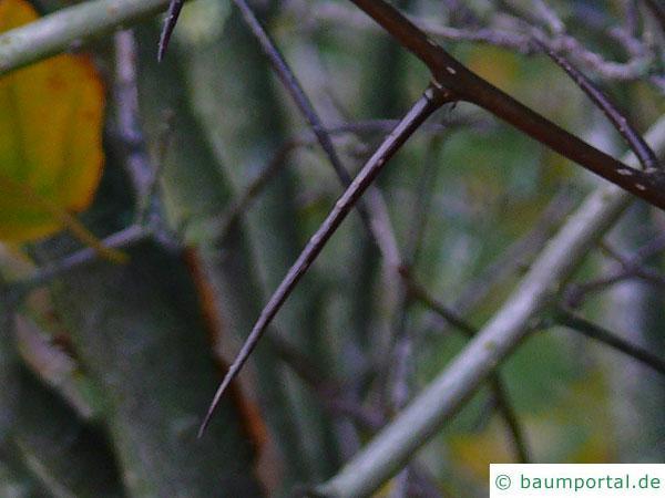 weichhaariger Weißdorn (Crataegus mollis) Zweig mit Dornen
