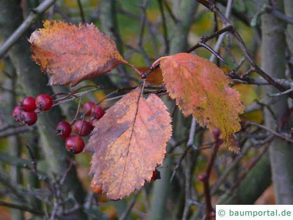 weichhaariger Weißdorn (Crataegus mollis) Herbstfärbung