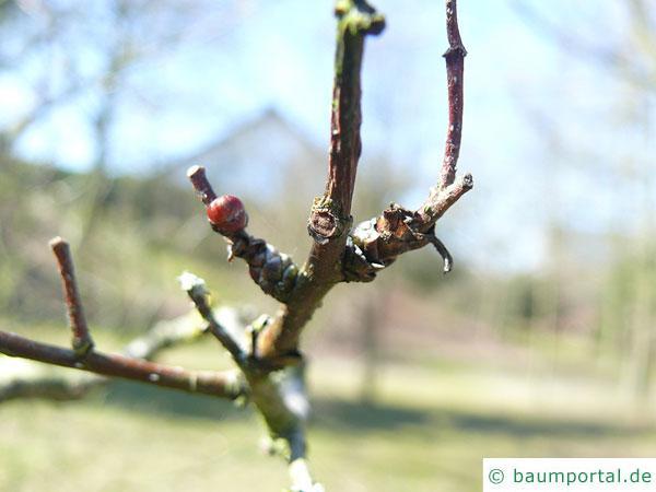 weichhaariger Weißdorn (Crataegus mollis) Zweig im Winter