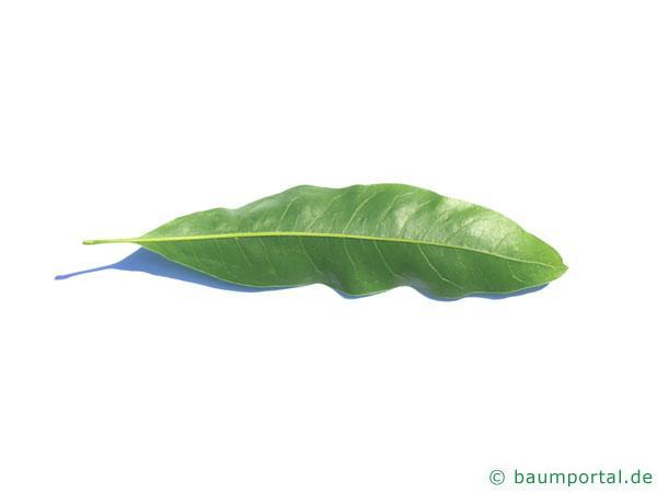 Weiden-Eiche (Quercus phellos) Blattunterseite