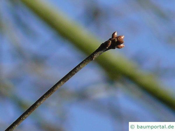 Weiden-Eiche (Quercus phellos) Endknospe