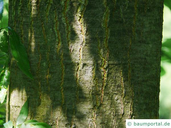 Weiden-Eiche (Quercus phellos) Stamm / Borke / Rinde