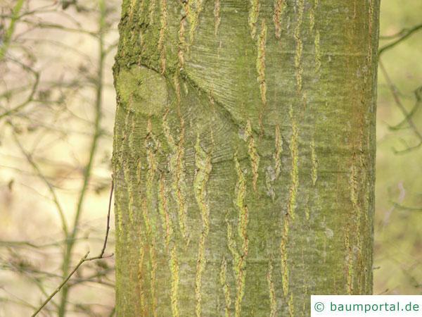 Weiden-Eiche (Quercus phellos) Stamm / Rinde / Borke