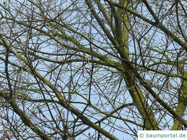 Weiden-Eiche (Quercus phellos) Krone im Winter