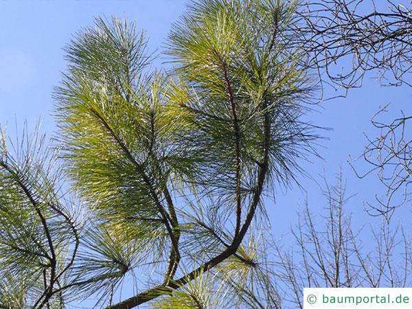 Weihrauch-Kiefer (Pinus taeda) Ast