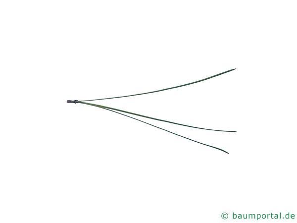 Weihrauch-Kiefer (Pinus taeda) Nadel