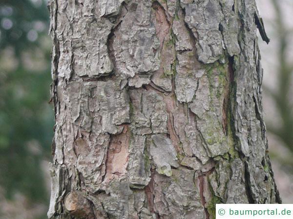 Weihrauch-Kiefer (Pinus taeda) Stamm / Rinde / Borke