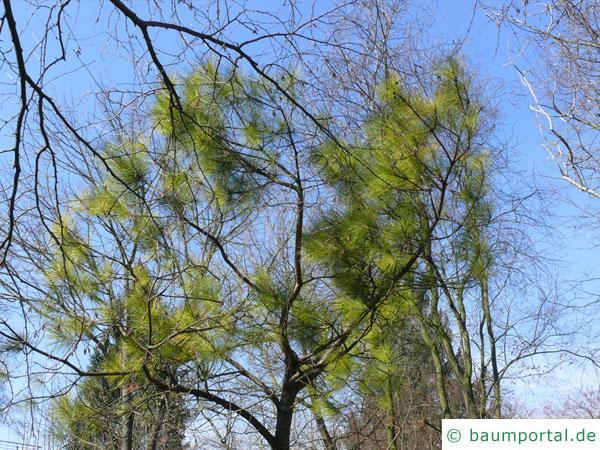 Weihrauch-Kiefer (Pinus taeda) Baum