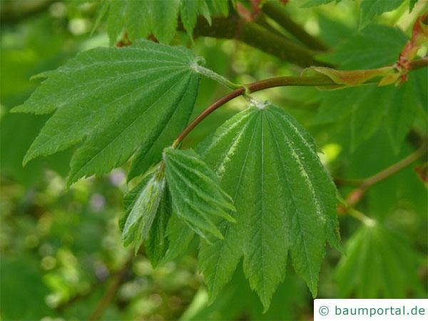 Wein-Ahorn (Acer circinatum) Blätter im Sommer