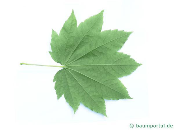 Wein-Ahorn (Acer circinatum) Blattunterseite