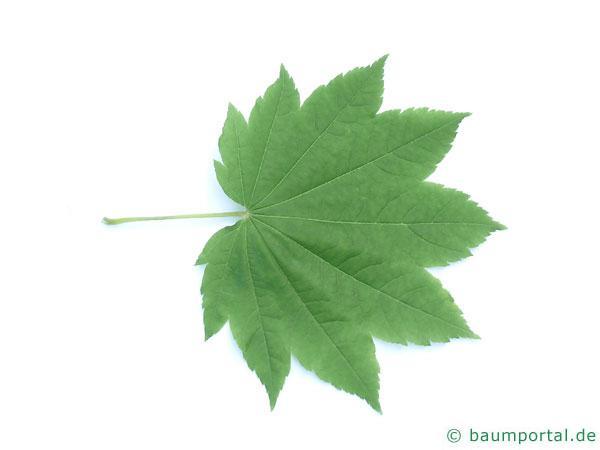 Wein-Ahorn (Acer circinatum) Blatt