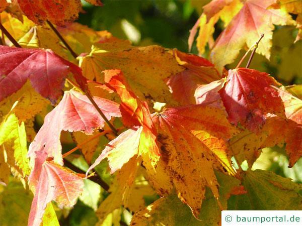 Wein-Ahorn (Acer circinatum) Herbstfärbung
