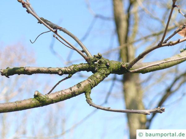 Weiß-Eiche (Quercus alba) Ast