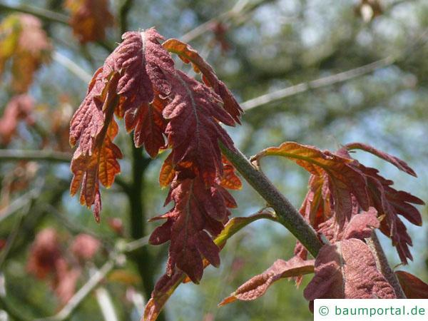 Weiß-Eiche (Quercus alba) Blattaustrieb im Frühjahr