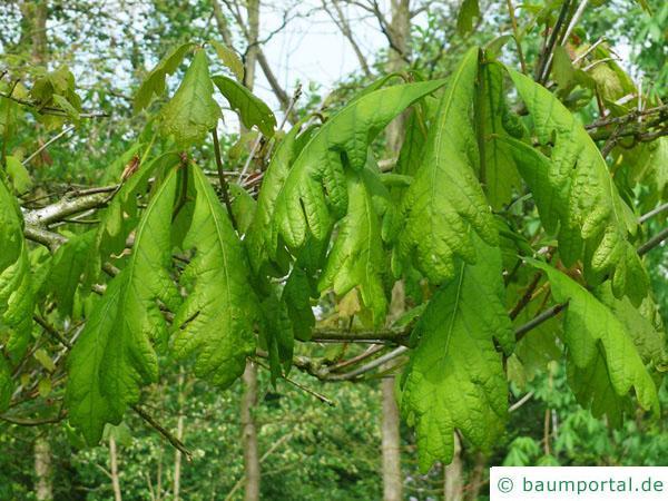 Weiß-Eiche (Quercus alba) Blätter