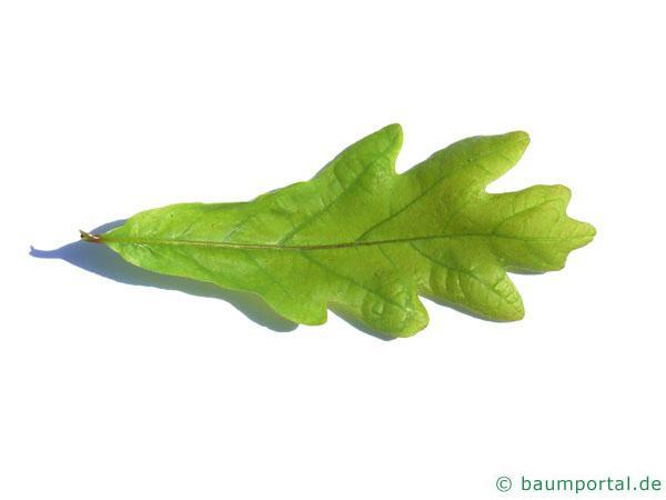 Weiß-Eiche (Quercus alba) Blatt
