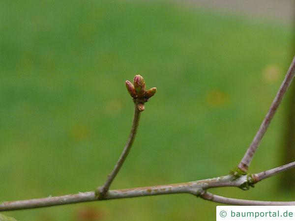 Weiß-Eiche (Quercus alba) Seitenknospen