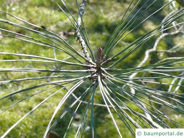 Weiß-Kiefer (Pinus sabiniana) Nadelstellung