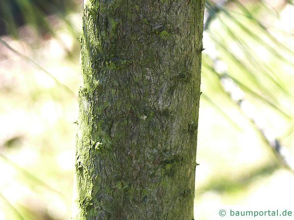 Weiß-Kiefer (Pinus sabiniana) Stamm / Rinde / Borke