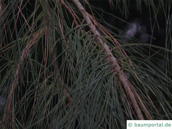 Weiß-Kiefer (Pinus sabiniana) Zweig