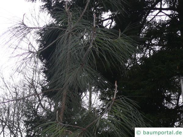 Weiß-Kiefer (Pinus sabiniana)