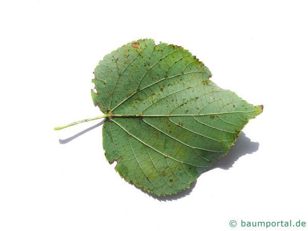 Winter-Linde (Tilia cordata) Blattunterseite