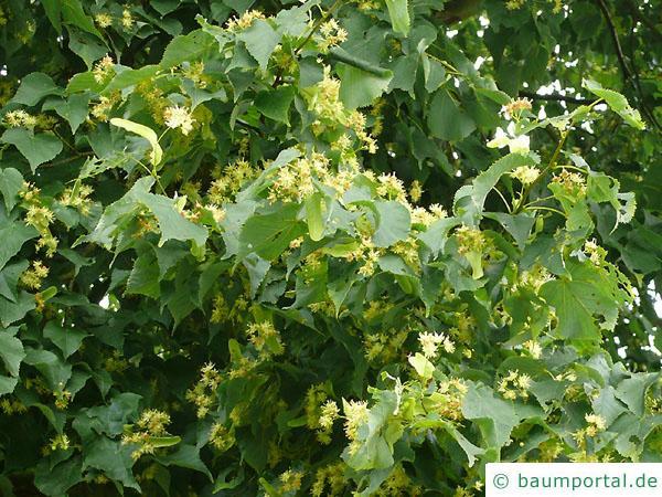 Winter-Linde (Tilia cordata) Blüten