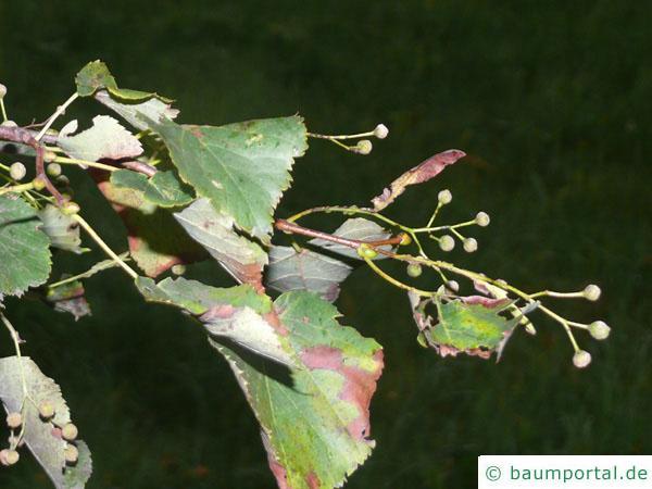 Winter-Linde (Tilia cordata) Blätter und Früchte
