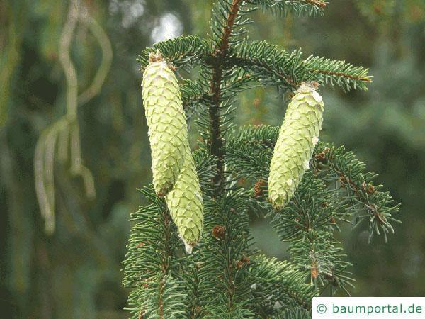 Zapfenfichte (Picea abies 'Acrocona') Zapfen jung