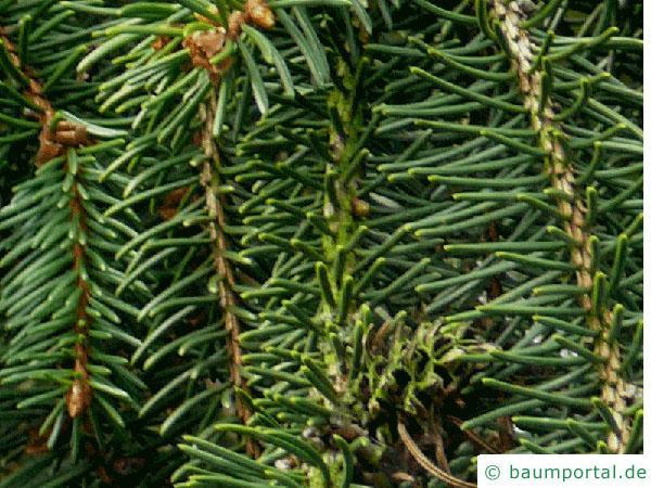 Zapfenfichte (Picea abies 'Acrocona') Nadel
