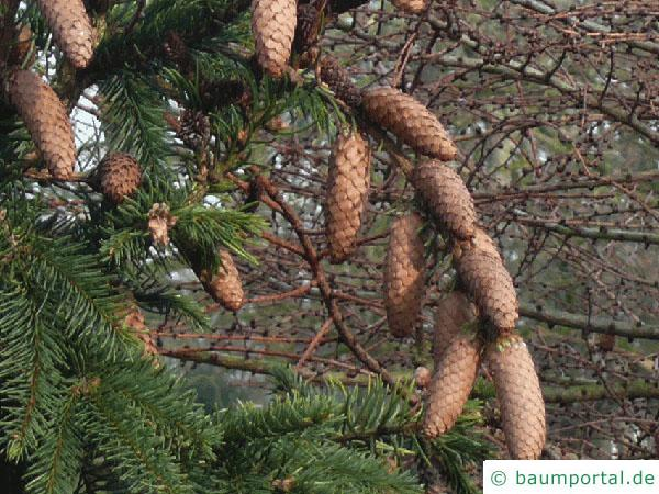 Zapfenfichte (Picea abies 'Acrocona') Zapfen im Herbst