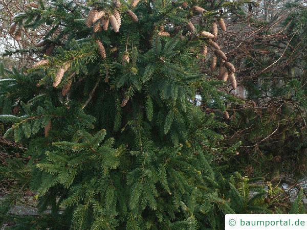 Zapfenfichte (Picea abies 'Acrocona') Baum