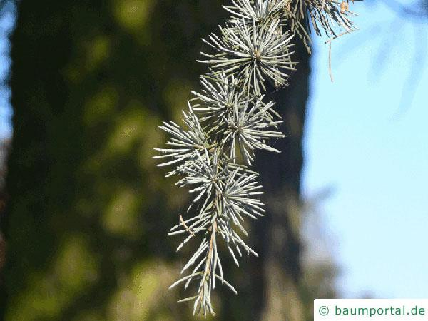 Zeder-Blauzeder (Cedrus atlantica 'Glauca') Nadel