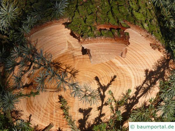 Zeder-Blauzeder (Cedrus atlantica 'Glauca') Holz