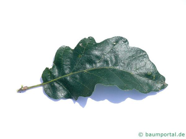Zerr-Eiche (Quercus cerris) Blatt