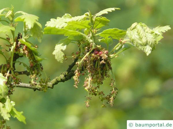 Zerr-Eiche (Quercus cerris) Blüte