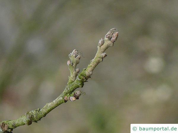 Zerr-Eiche (Quercus cerris) Zweig
