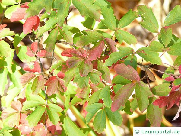 Zimt-Ahorn (Acer griseum) Blätter im Herbst