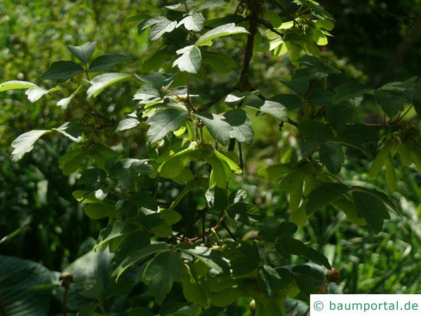 Zimt-Ahorn (Acer griseum) Blätter