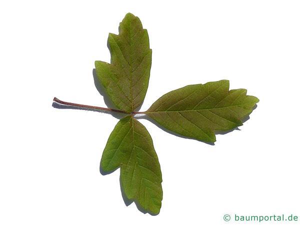 Zimt-Ahorn (Acer griseum) Blatt