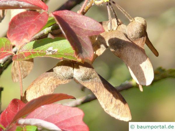 Zimt-Ahorn (Acer griseum) Früchte im Herbst