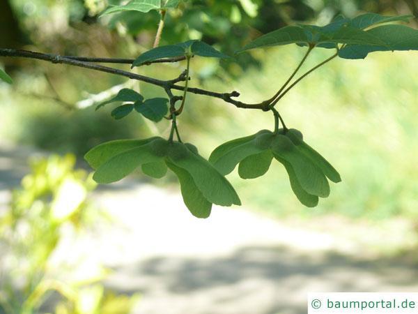 Zimt-Ahorn (Acer griseum) Frucht im Sommer
