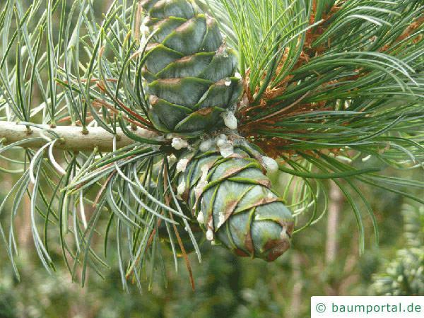 Zirbel-Kiefer (Pinus cembra) junger Zapfen